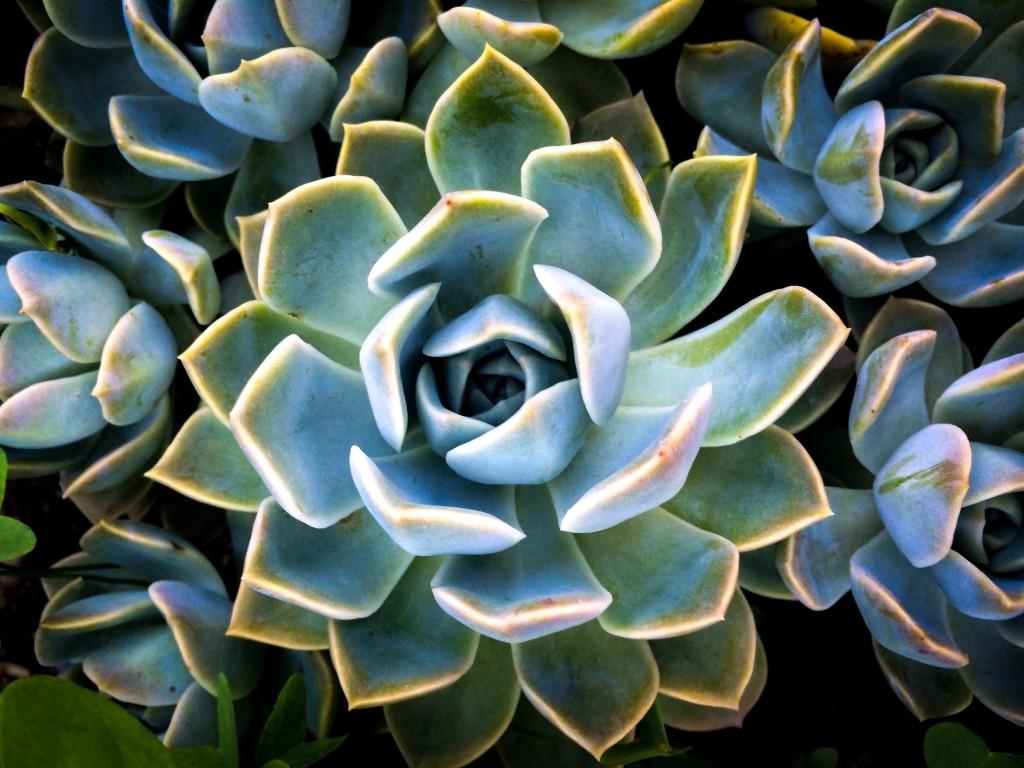 verzorging vetplanten