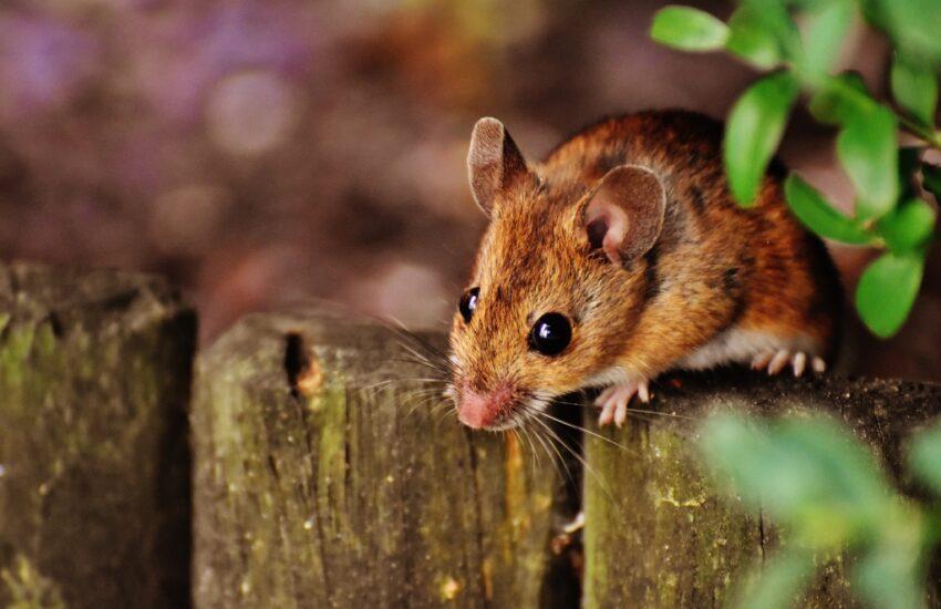 muizen in huis